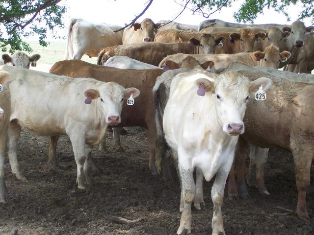 T&D Farms Charolais